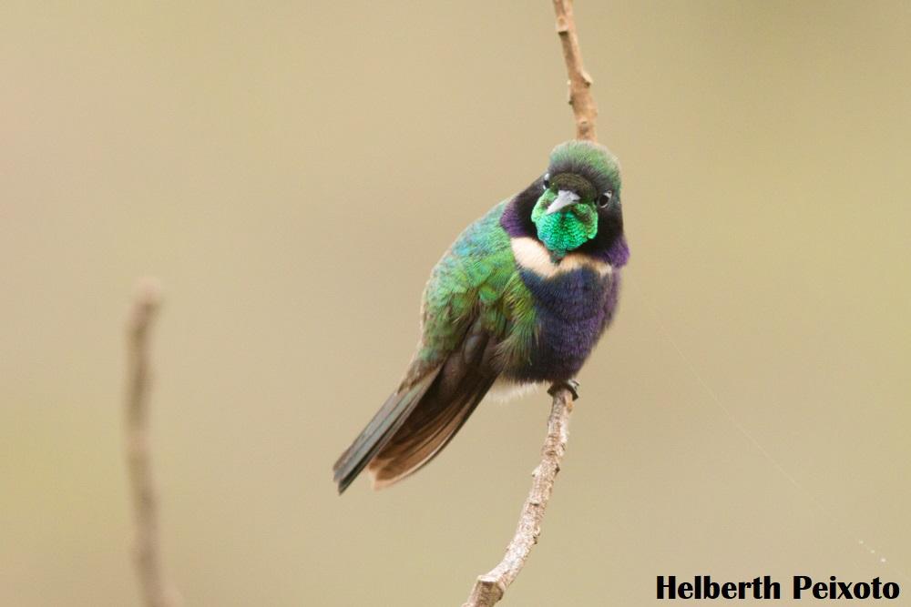 Beija-flor de gravata verde